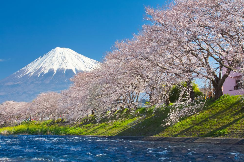 46780527 - mountain fuji and cherry blossom sakura in spring season