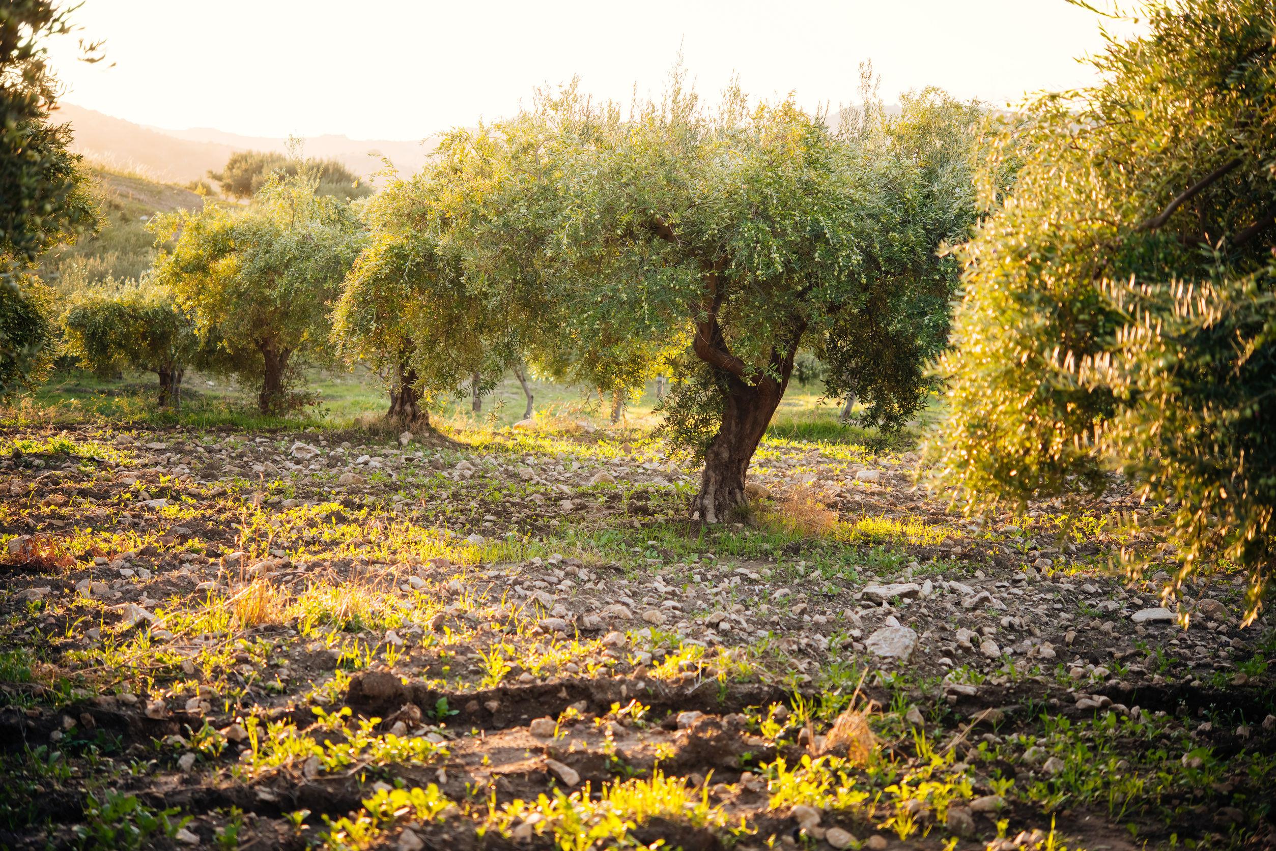 50539724 - harvesting olives in sicily village, italy