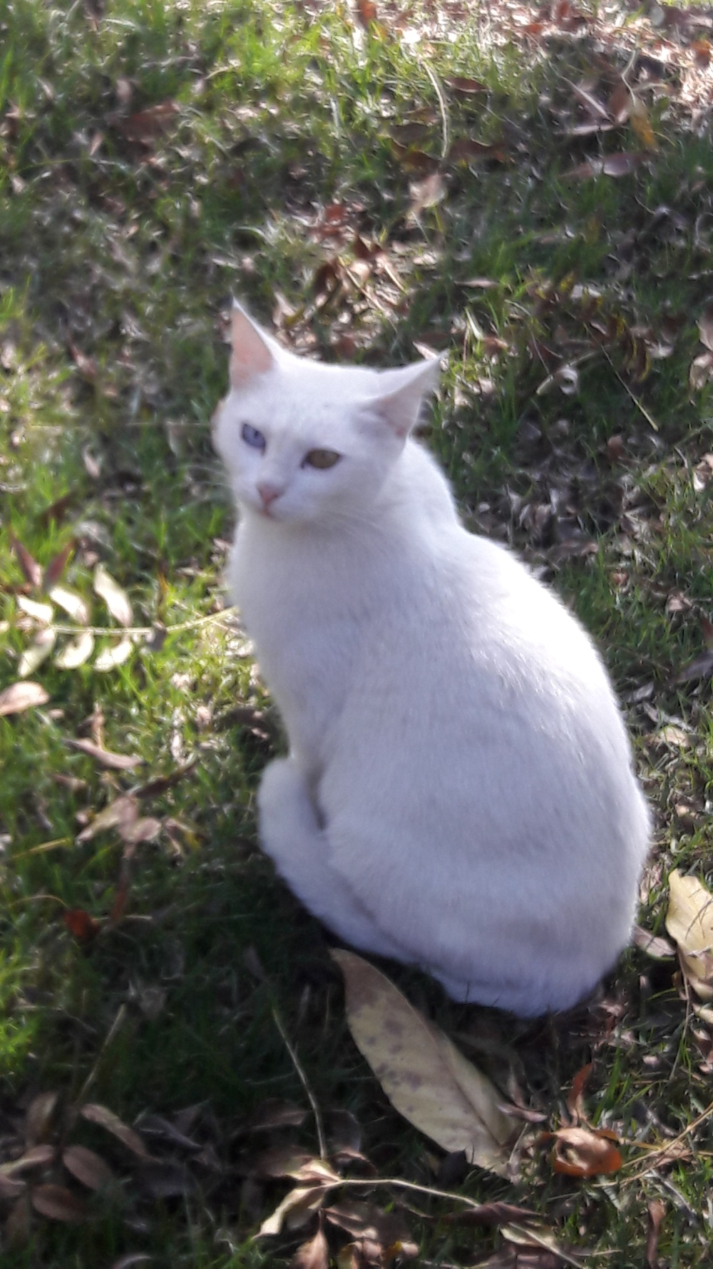 Turkish Angora2