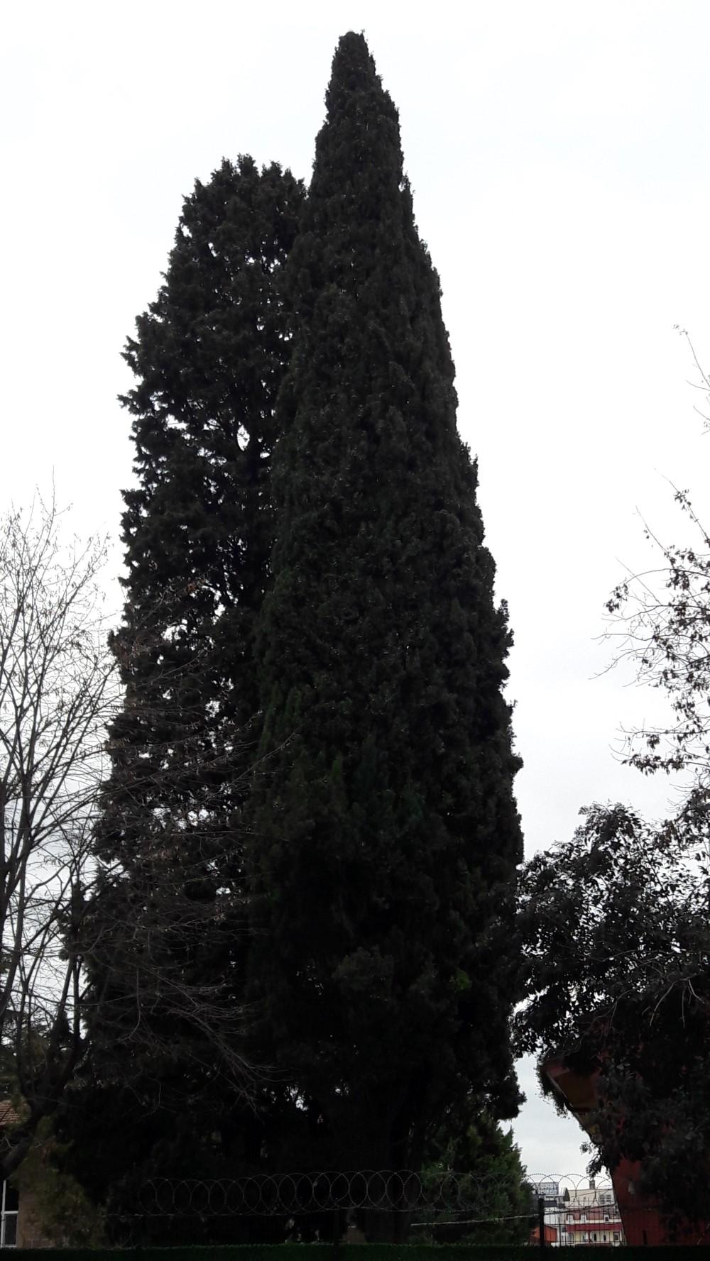 Turk Cypress
